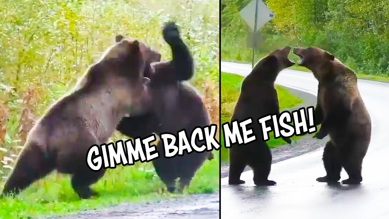 Ozzy Man Reviews: Epic Bear Fight