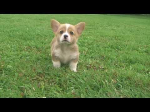 Met - Welsh Corgi Puppy
