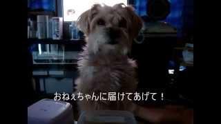 Maltese yorkshireterrier mix ku  おねぇちゃんのシーチキンⅡ! ミックス犬