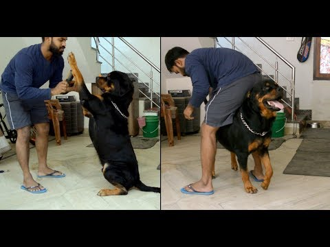 Rottweiler, Combing after Shower : [ Bolt ]