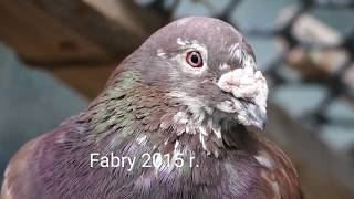 Gołębie Fabry budowa gniazd lęgowych