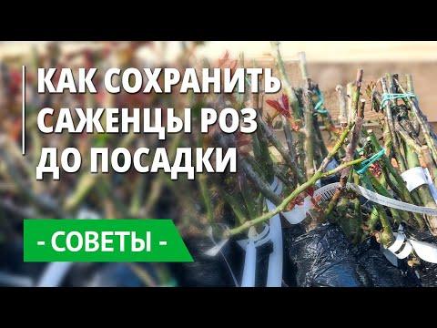 Как сохранить саженцы роз до посадки, если сажать еще холодно