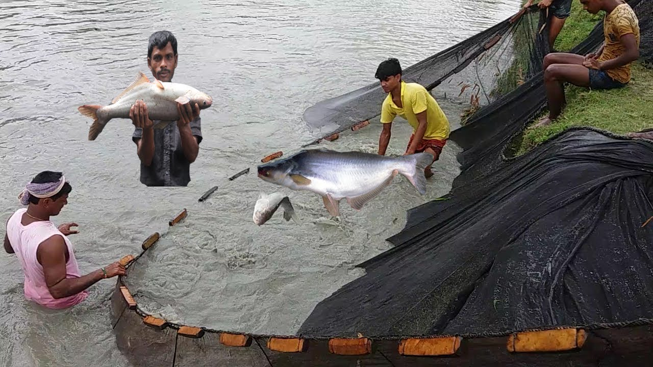 Big pangas fish catching by net fishing pangasius for Fish catching net