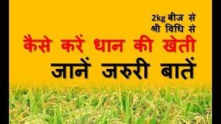 Paddy cultivation | from two kg seed | special things | दो किलो बीज से धान की खेती कुछ खास खास बातें