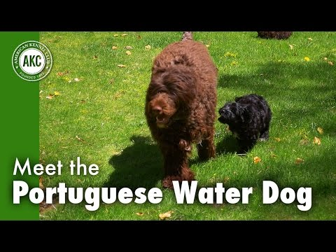 Meet the Portuguese Water Dog