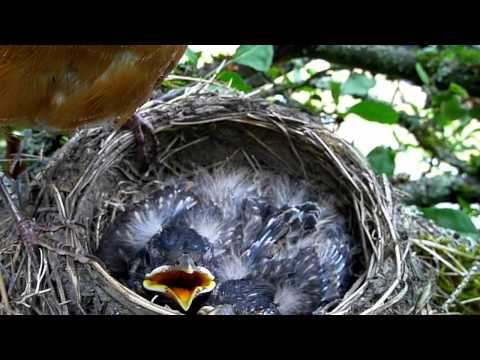 American Robin's nest (AKA Robin Red Breast), eggs, and babies