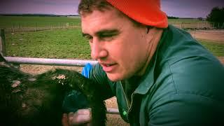 How To Calve A Breech Cow (posterior presentation) Video