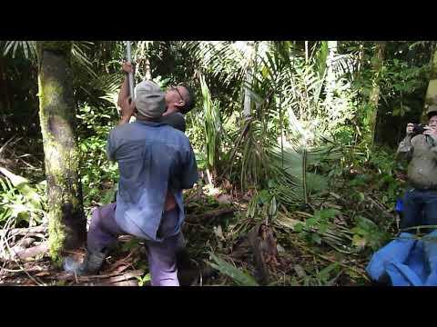 Coletas de cachos de Patauá (Oenocarpus bataua Mart.) usando a PALMHASTE