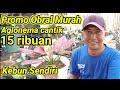 Obral Murah Harga Dan Jenis Aglonema Kebun Sendiri  Mp3 - Mp4 Download