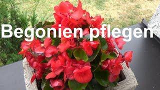Begonien pflegen pflanzen düngen gießen überwintern Standort Eisbegonie Begonia