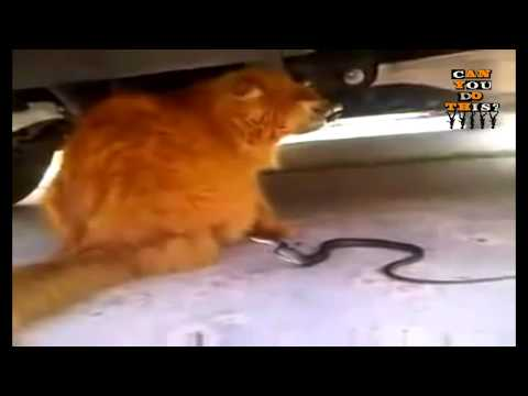 Can You Do This? - Like A Boss Cat