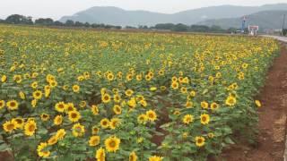 ジャガイモ畑にポツンと現れるひまわり畑⸜(๑⃙⃘'ᵕ'๑⃙⃘)⸝⋆  *