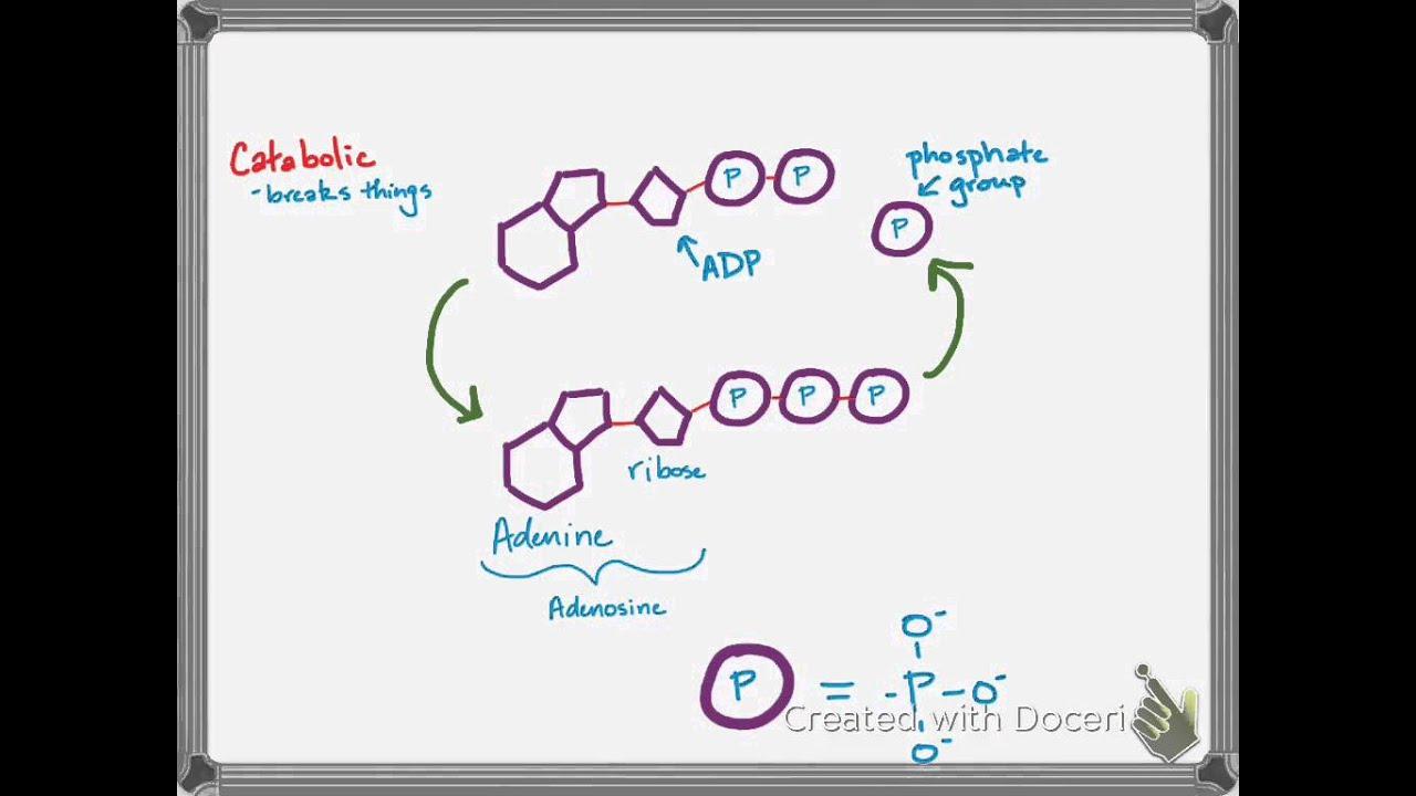 Quarter 2 Review-ATP ADP Cycle