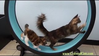 One Fast Cat Exercise Wheel; Colossal Cats Maine Coons
