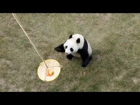 Zookeepers 'fish' pandas to train their upper body