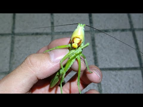 深夜に見つけたヤバすぎる巨大昆虫。 Dangerous giant grasshopper; Pseudorhynchus japonicus