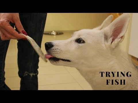 dog tries fish for the first time (2019)