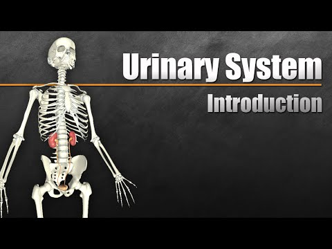 The Urinary System In 7 Minutes