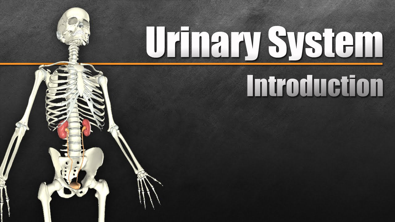 The Urinary System In 7 Minutes Youtube