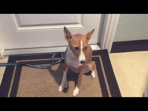 Talkative Basenji dog lets us know what's on her mind