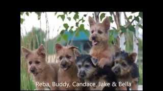 Dunham Lake Australian Terrier's 2015 Puppies Born 2009 To 2014