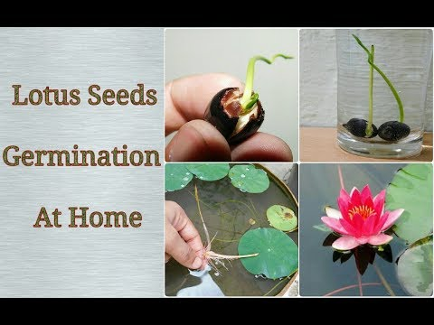 Lotus Germination At Home Easy Process Step By Step Youtube