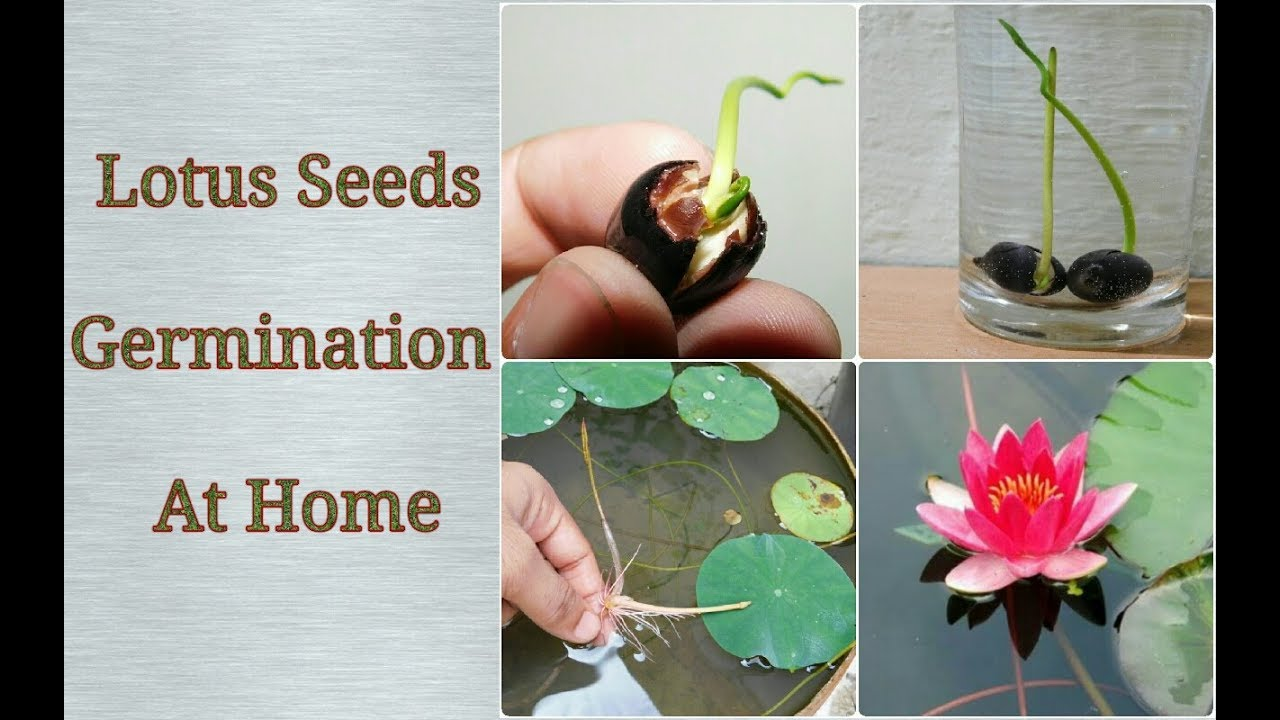 How to plant a lotus youtube - How To Grow Lotus From Seeds Easy Process Step By Step