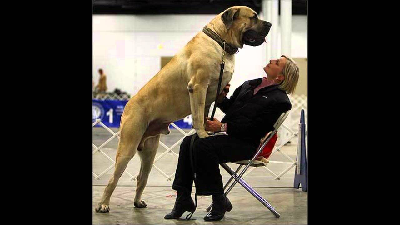 Real Guiness World Record Largest Dog In Height Youtube