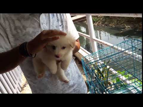 German spitz puppy | Cute Puppy | Pet dog