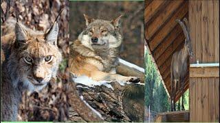 Hayvanat Bahçesinde Vahşi Kurtlar ve Diğer Hayvanlar #vahşihayat