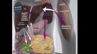 Métabolisme à l'état de jeûne: phase cétonique