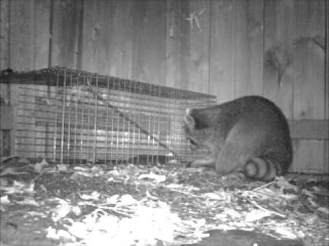 Raccoon Caught in a Havahart Live Trap