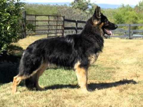 Shiloh Shepherd dogs - YouTube