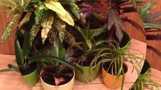 Сорта кротона и описание. Виды кротона. Размножение и особенности растения