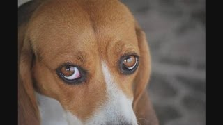 How To Recognize Dog Eye Infections