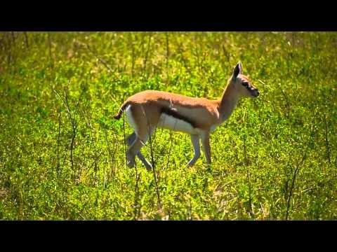 Baby Thomson's Gazelle