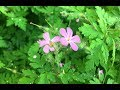 Wild Geranium and Some Book Recommendations