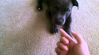 Pitbull puppy training - Part 1 How to sit and lay