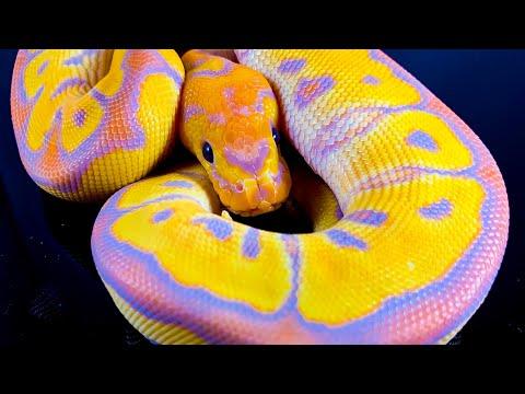 Banana / Coral Glow -Clown Ball Python-big Dans Genetix