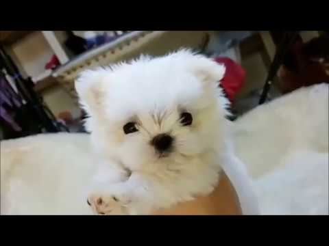Baby Candy - Tiny Teacup Maltese Puppy