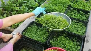 Thu hoạch rau đắng, rau Má, chia sẻ cách trồng rau đắng! Thanh Nguyên!