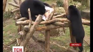 У німецькому зоопарку прощаються з двома очковими ведмедями(UA - У німецькому зоопарку прощаються з двома очковими ведмедями. Звірята народилися у Франкфуртському зооп..., 2016-03-04T06:57:20.000Z)