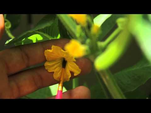 Japanese Cucumber Gardening & Harvesting in Hawaii - HD