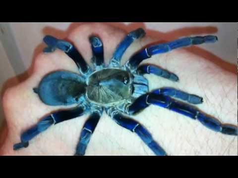 Cobalt Blue Tarantula Handling, H. Lividum- HD, calm, review