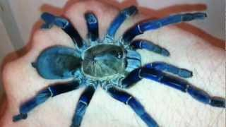 Cobalt Blue Tarantula Handling, H. Lividum- HD, calm, review