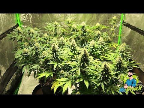 Hermie Weed Plant! - Hermaphrodite Cannabis - Indoor Gardening Grow Vlog