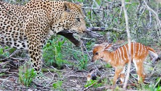 Baby Buck Headbutts Leopard Persistently To Try Escape