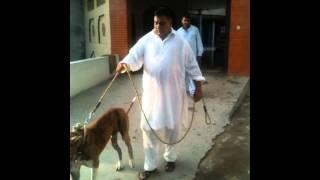 pakistan bull dog choudary taleb from gujar khan bewal 2012