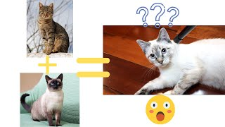 Top 10 Lynx Point Siamese Cat Facts!!!