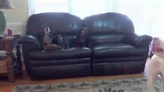 Dachshunds And A Lab/pit Mix Howling Together